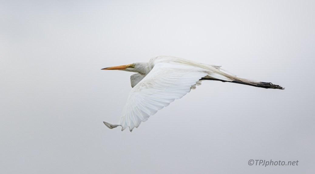 Great Egret, Fast Mover