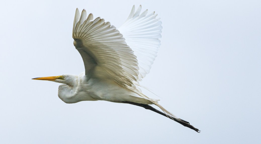 Great Egret, Adult Leaving A Rookery