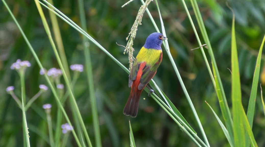 Painted Bunting On The Marsh Grass