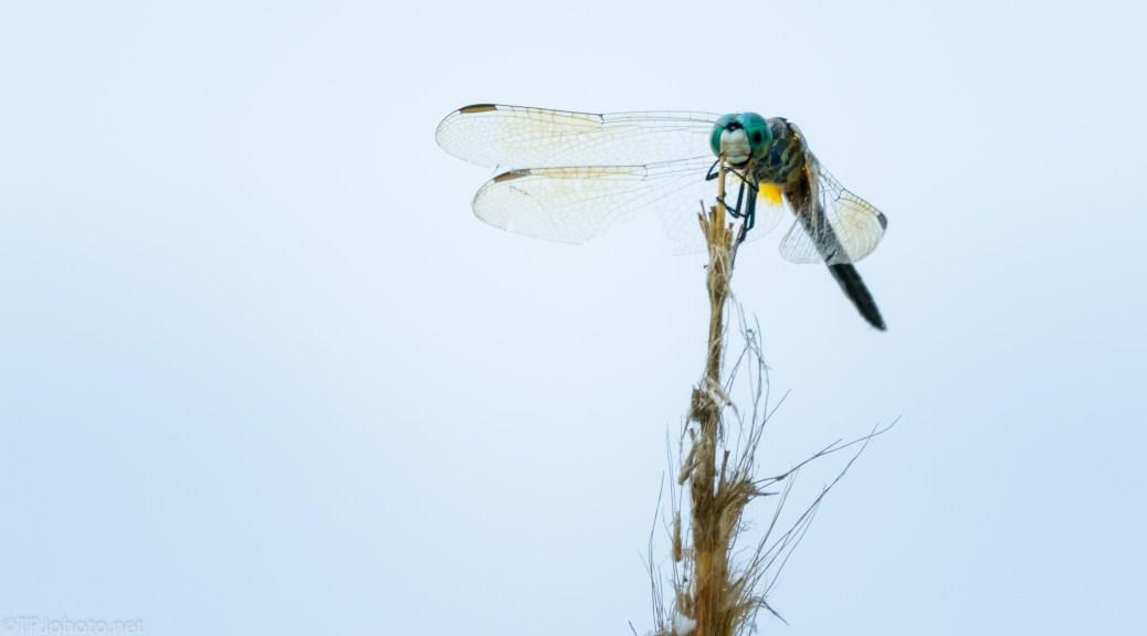 Marsh Dragonfly