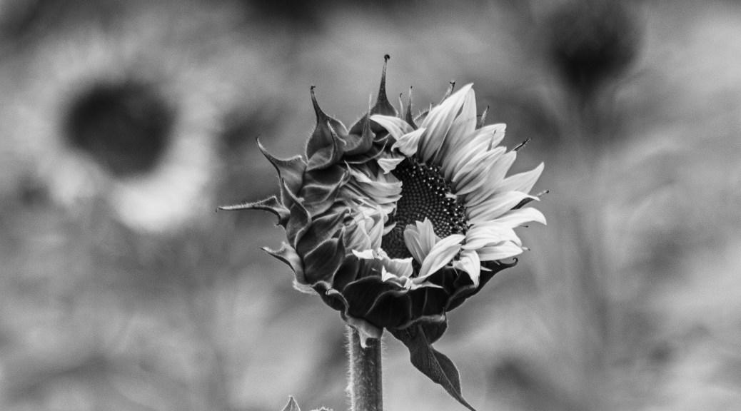 Sunflower, B&W