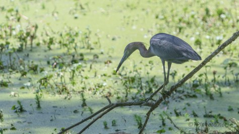 Little Blue Heron, The Slow Hunt