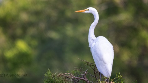 Picture Perfect Pose, Egret