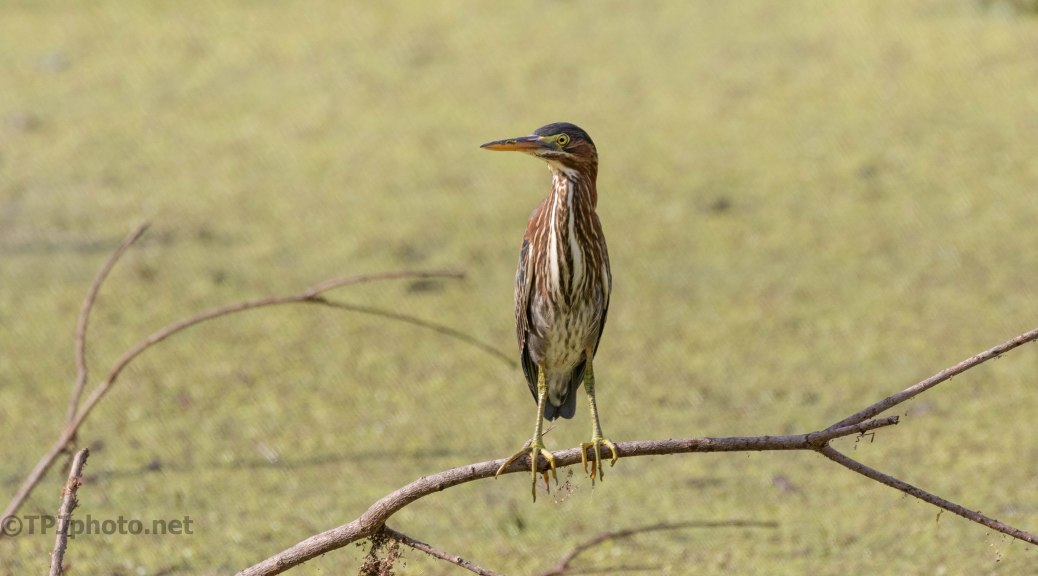 Swamps Edge, Green Heron