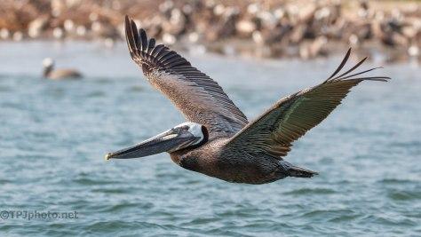 Pelican, In Flight (4)