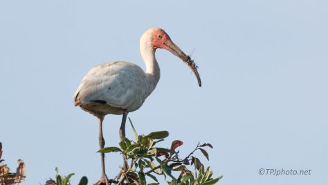 Been Playing In The Mud, Ibis