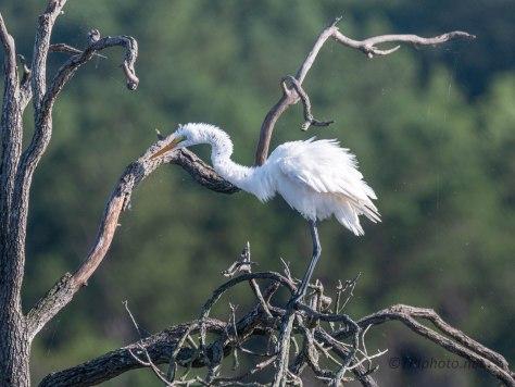 Egret Getting All Fluffy