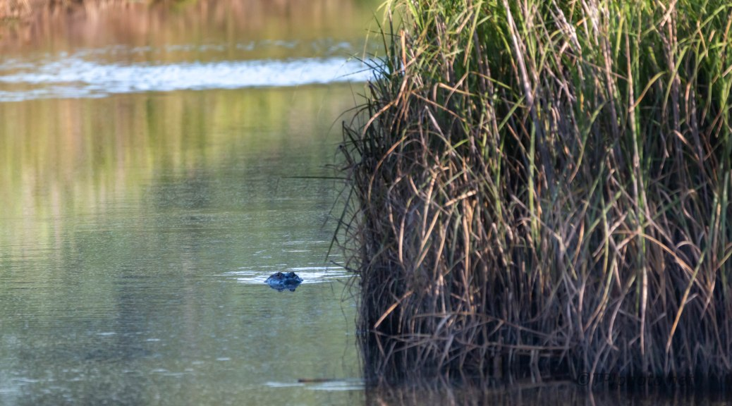 A Quick Visual, Alligator