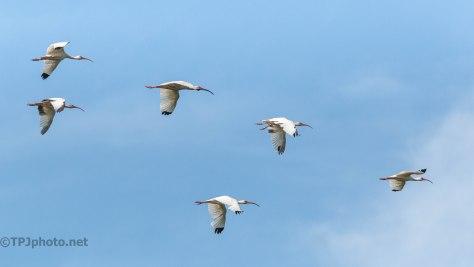 Fast White Ibis