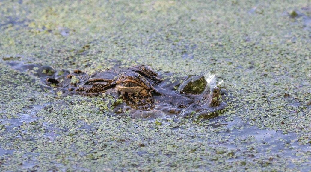 He Caught Something, Alligator