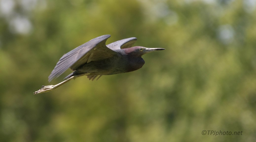 Little Blue Heron On The Move