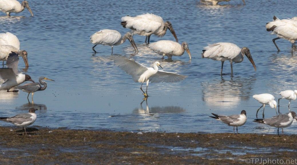 Brave Snowy Egret