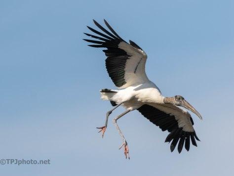 In Coming... Wood Stork