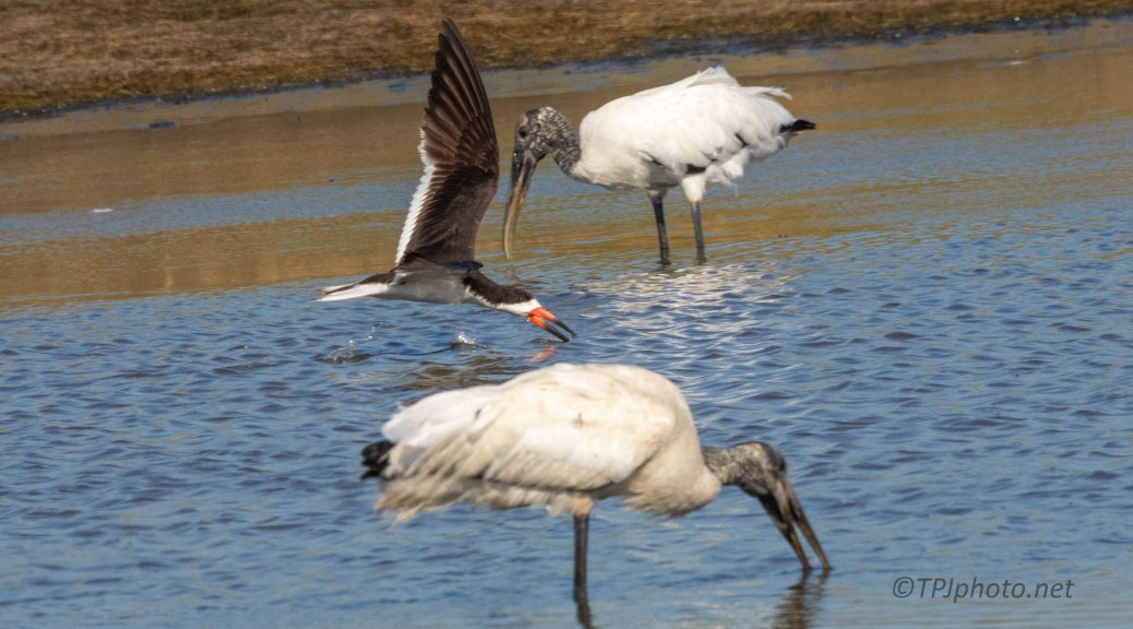 Black Skimmers Working Between The Storks