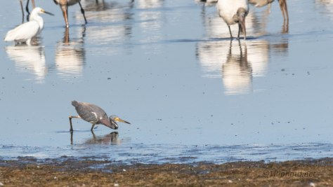 Tricolored Heron Drama, Ignoring All The Larger Birds