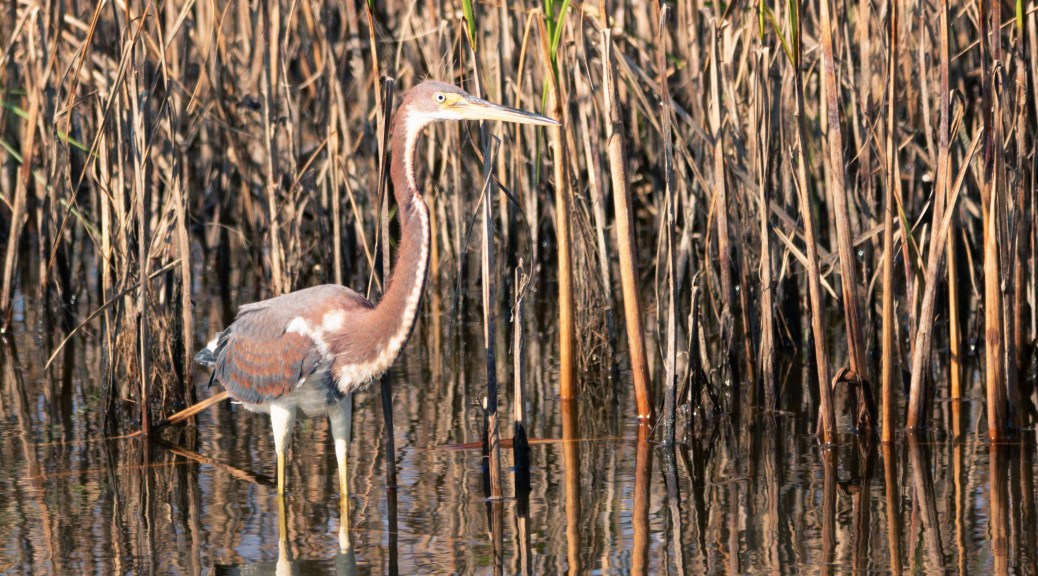 Tricolored Heron In Reeds