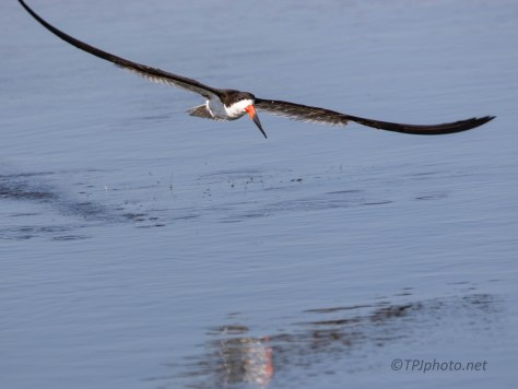 Black Skimmer On The Hunt