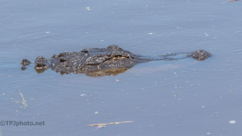 Came By For A Look, Alligator