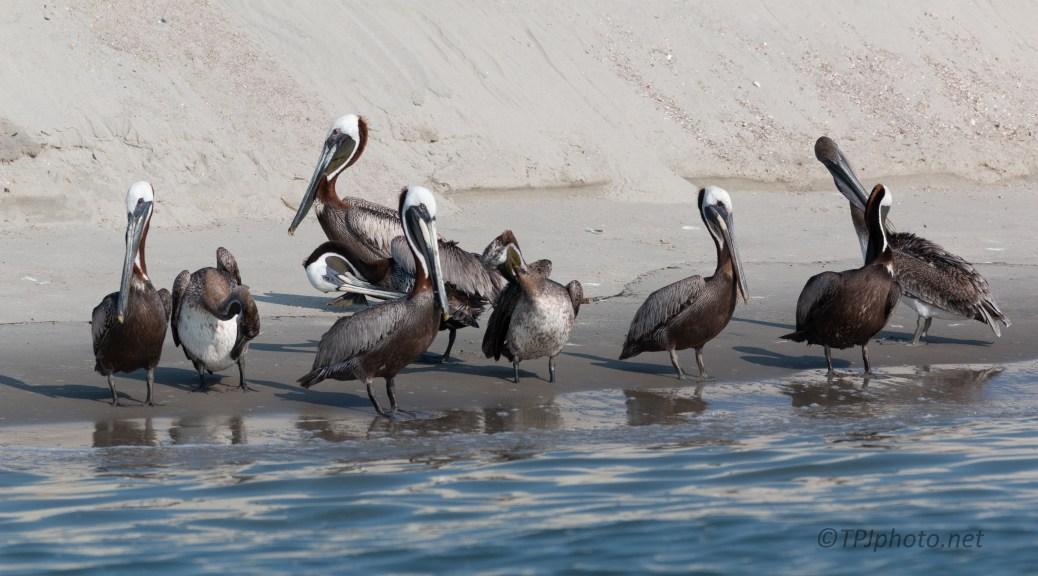 A Group Photo, Pelicans