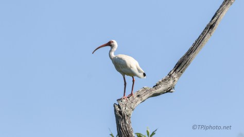White Ibis Up High In A Swamp