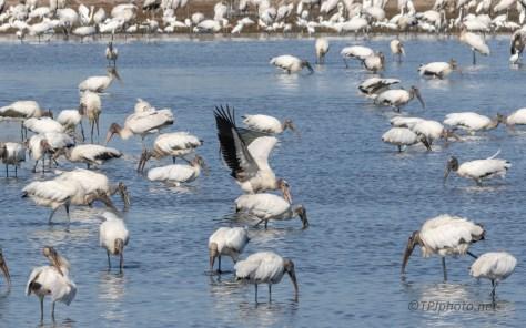 Wood Storks, Everywhere