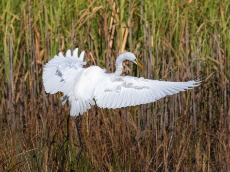 Great Egret Easing Into The Reeds