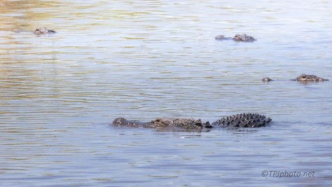 A Few Locals Hanging Around, Alligator