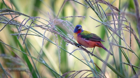 Hidden In The Tall Grass, Painted Bunting