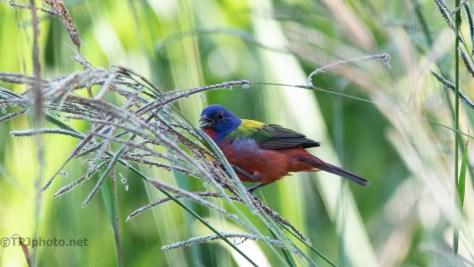 Colors In Marsh Grass, Bunting