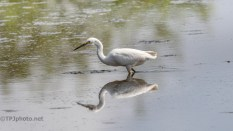 He Missed, Snowy Egret