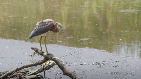 Tricolored Heron Watching For Fish