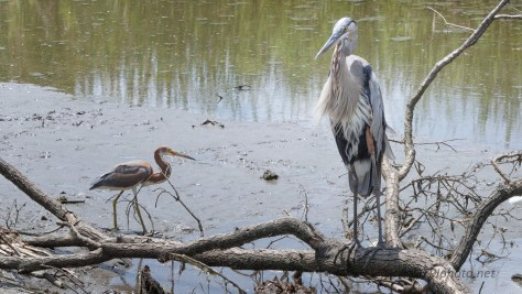 Two Herons, Tricolored, Great Blue