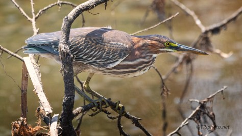 The Concentration Of A Green Heron