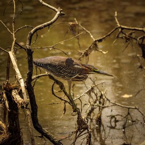 Green Heron Found Near A Marsh / River