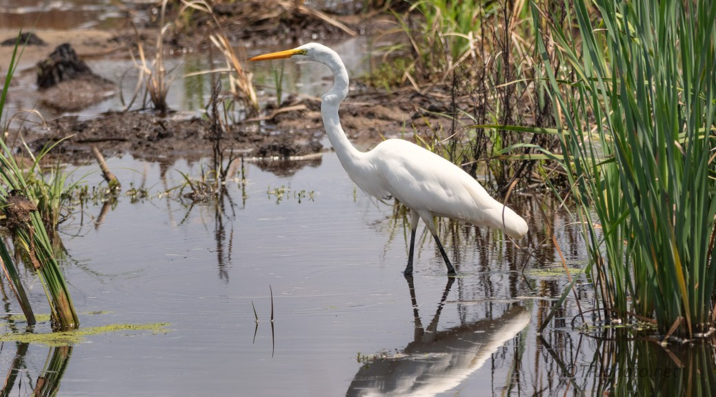 Egret, Open And Hot Marsh