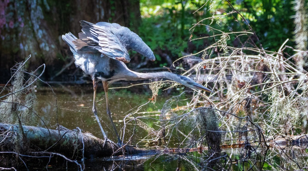 Confusing Signal, Great Blue Heron.