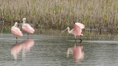 Pretty, But The Landing...Not So Much, Spoonbill