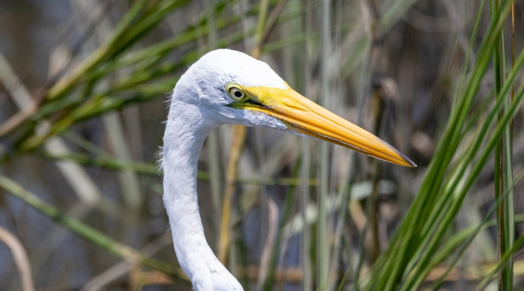 Egret In The Reeds