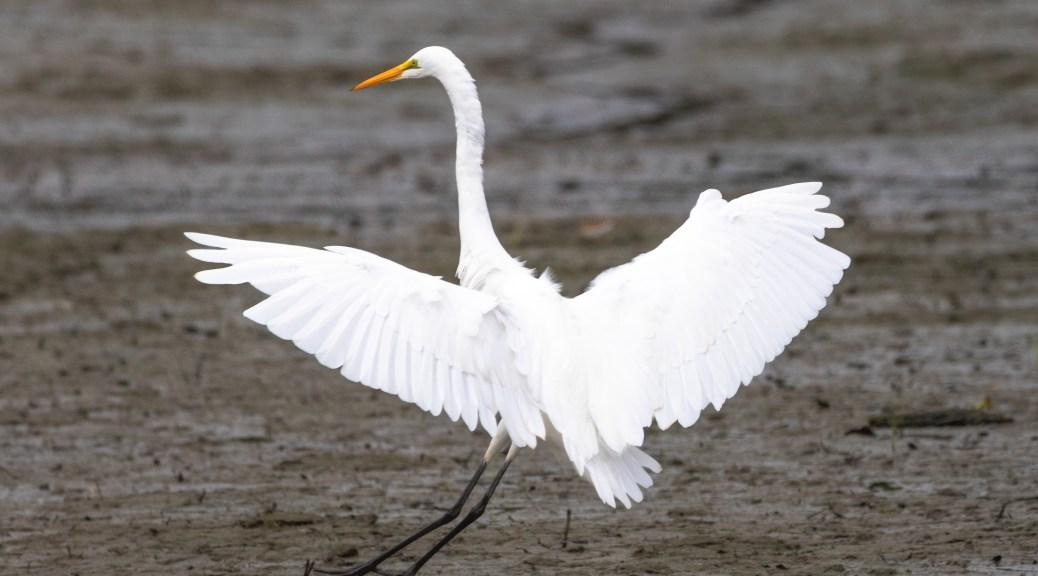 Look Good Even Landing In Mud, Egret