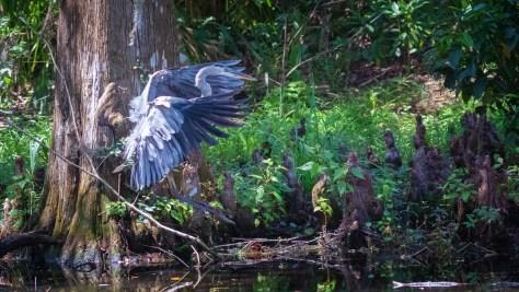 Arrival, Great Blue Heron
