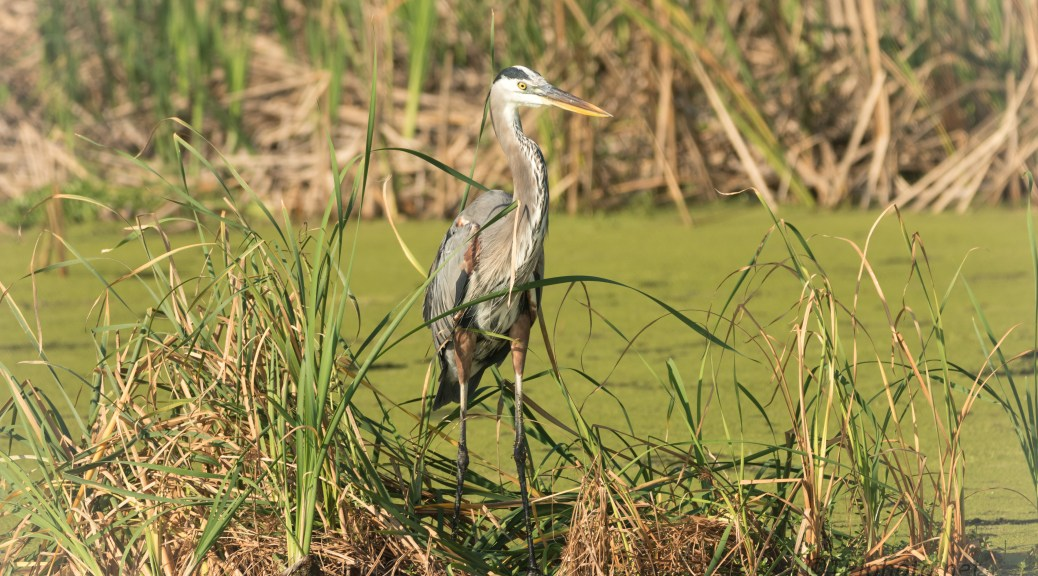 Great Blue In The Reeds