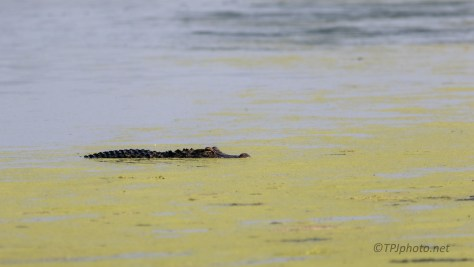Cutting In Front Of Us, Alligator