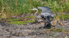 Guarding His Territroy, Heron