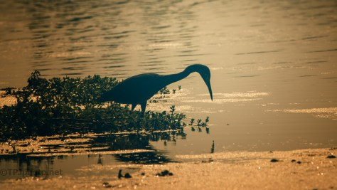 Heron In Silhouette