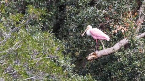 Spoonbill, Cat Island