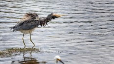 Shake It Off, Tricolored Heron
