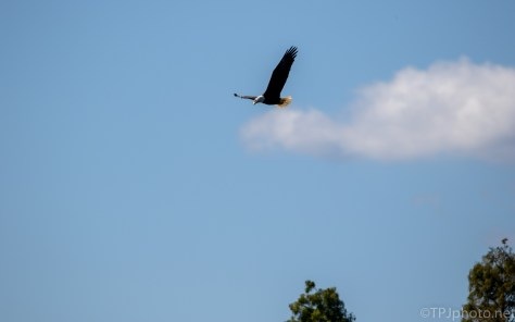 An Old Rice Field Fly By, Heron (Eagle)