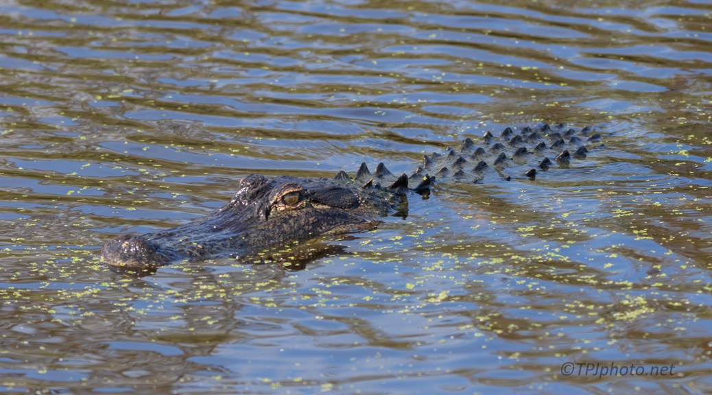 It Didn't Matter We Were There, Alligator