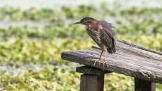 Grumpy, Green Heron