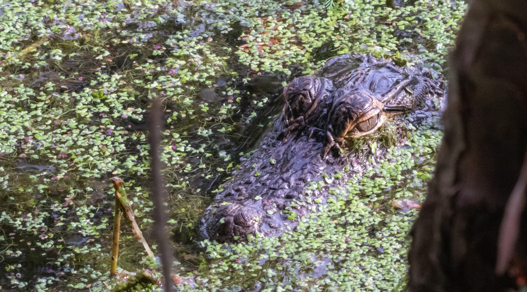 Look Down Once In A While, Alligator